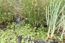 4. Small bog pool: Lindow Moss started as a post glacial lake which became choked with vegetation. Patches of bog pondweed, soft rush and reed mace can still be found on the moss, supporting a small population of water voles.