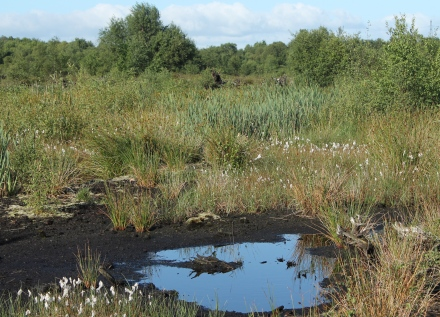 6. Variety of plants near a small bog pool: In areas where peat cutting has been relaxed, mire vegetation including the characteristic cotton grass is able to re-establish and the bog begins again to capture carbon dioxide from the atmosphere.