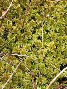 8. Sphagnum Moss: Lindow Moss was 'built' of sphagnum moss over thousands of years and it can still be found in the wet areas. If the drainage channels were blocked and the peat surface was re-wetted then sphagnum would re-establish, so accelerating carbon capture from the atmosphere.